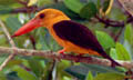 Brown-winged Kingfisher (Photo: Nathan Chappell)